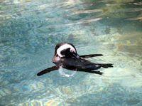 851266_penguin